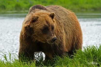 Ours brun (mâle) - Anchorage (Alaska - USA) Juin 2013
