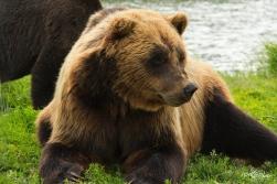 Ours brun croisé Grizzly (femelle) - Anchorage (Alaska - USA) Juin 2013