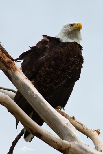 Pygargue à tête blanche - Anchorage (Alaska - USA) Juin 2013